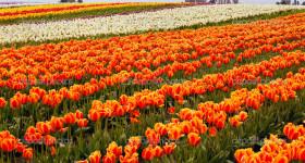 Red Orange White Tulips Flowers Field Skagit Valley Farm Washington State Pacific Northwest